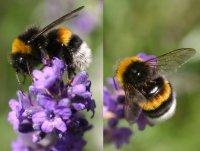 Bild zu Hummeln: Bienen im Pelz